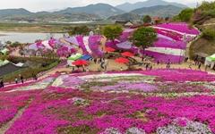 [사진] 진분홍 꽃잔디 사이 걸으며 봄 만끽