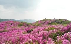 연홍빛 산철쭉 꽃밭에 퐁당 뛰어들고 싶어라