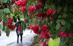 [사진] 봄비 머금은 장미