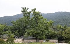 500년 전에 조성된 비자나무숲, 이유 봤더니