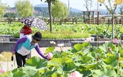 상하수도사업소 생태공원의 연꽃 활짝 '인기'