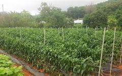 가뭄과 장마를 이겨낸 첫물고추를 수확하며