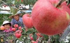[사진] 추석용 '함양산' 사과 수확해요