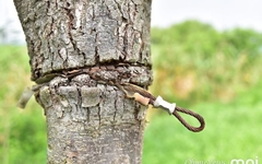 [모이] 칭칭 감은 와이어... 나무가 무슨 죄라고