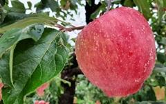 [사진] 추석 앞두고 탐스럽게 익어가는 사과