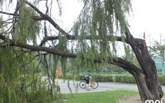 한강 나무들을 단체로 쓰러트린 태풍 '링링'의 위력