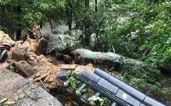 태풍 링링에 천연기념물 해인사 전나무도 부러졌다