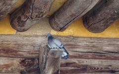 [모이] 구례 화엄사에 터 잡은 '양비둘기'를 아시나요?