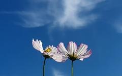 [사진] 파란 하늘에 코스모스... 어느새 가을이 왔다