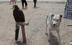 몽골인들에게 늑대가 주는 의미는?