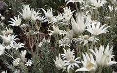한국에 단풍 들면 호주에는 꽃이 핀다