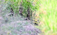 [사진] 세종시 한복판에 나타난 희귀새 진홍가슴