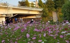 [모이] 지금 양재천은 온통 가을가을한 꽃밭