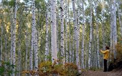 [포토에세이] 원대리 자작나무 숲에서