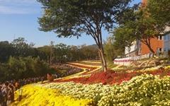 [모이] 형형색색 국화꽃에 눈호강.... 이곳은 화순입니다