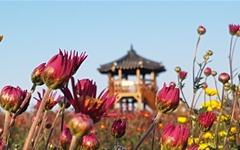 다양한 체험, 먹거리 풍성한 가을 만끽, '서산국화축제'