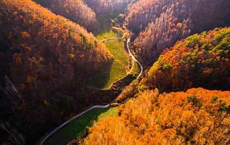 [오마이포토] 가을 안녕, 붉게 물든 인제 자작나무 숲