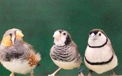새들의 노래 실력, 학습보다는 타고난다