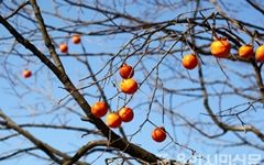 홍시도 좋고 곶감도 좋아라! 감나무