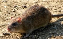 2020년은 집쥐의 해? 생쥐의 해?
