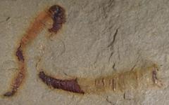 5억5천만년 전 '동물 내장' 화석, 복원해보니...