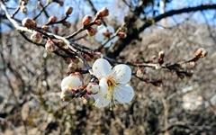 봄소식 전해오는 섬진강 매화마을