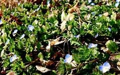 [사진] '오메~' 탄성을 터트리는 봄까치꽃