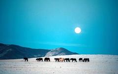 한겨울 몽골의 말들... 탄성이 저절로 나왔다