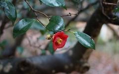 [사진] 구례 화엄사에 핀 동백꽃