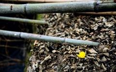 [사진] 얼음새꽃 피는 현천마을의 봄