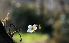 [사진] 남녘 매화마을 꽃들이 미쳤습니다