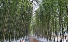 [사진] 첫눈 내린 섬진강 대나무 숲길