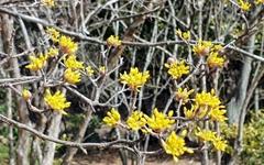 [사진] 전면 취소된 구례 산수유꽃 축제, 꽃은 피었습니다