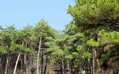 [사진] 마스크를 잠시 벗고 소나무 숲길 산책