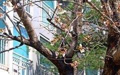 [사진] 경주 벚꽃 개화 시작