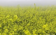 이곳의 봄은 노란색입니다