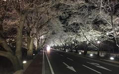[사진] 축제는 취소됐지만, 하나 둘 피어나는 벚꽃