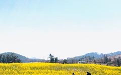 [사진] 폐허의 자리에 유채꽃이 피었습니다