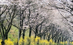 벚꽃 보러 오지 마세요, 사진으로만 보세요