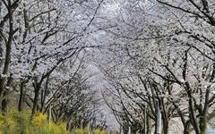 섬진강 벚꽃, 올해는 꾹 참고 2021년에 만나요
