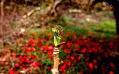 [사진] 꽃처럼 피어나는 지리산 두릅