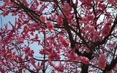 [모이] 봄꽃 배달합니다, 눈으로만 보세요