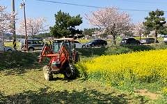 삼척 유채꽃밭을 갈아엎은 이유