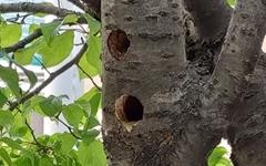 [영상] 아파트 단지 내에 둥지 튼 쇠딱따구리
