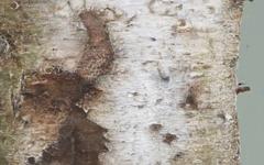 지금 한가람미술관엔 자작나무 숲이 열렸다