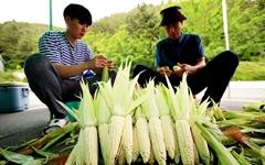 [의령] 쫄깃하고 당도 높은 시설재배 '옥수수' 첫 출하