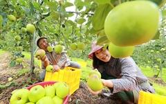 """[함양] """"초록 햇 사과 수확해요"""""""