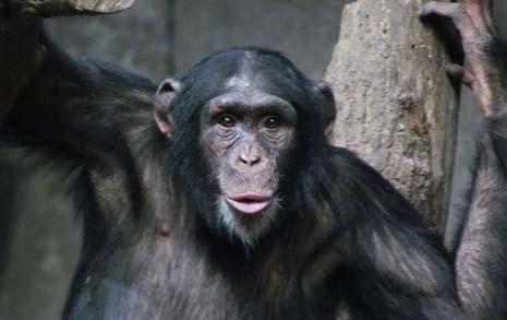 코로나가 만든 새로운 놀이, 침팬지를 찾아라