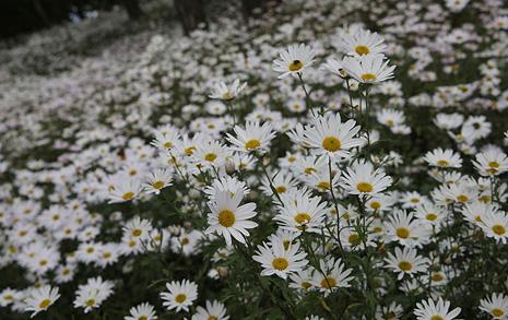 솔숲에 새하얀 눈이라도 내렸나... 꽃멀미에 아찔