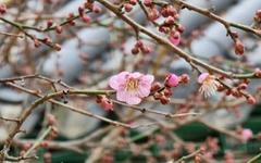 [사진] 봄비에 젖은 화엄사 분홍빛 매화